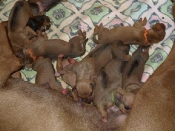 Stevie Rey x Ginger pups