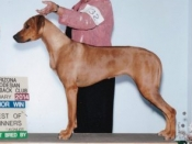 Overall Best Bred By and BOW for a 3 point major under judge Mrs. Debbie Petersen at the Arizona Rhodesian Ridgeback Regional Specialty show