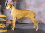 Winners Bitch and Award of Merit at the Rhodesian Ridgeback Club of Canada show, October 2005