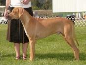 Atom, Best Puppy, 2007 Western Washington Hound Association specialty.