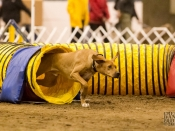 Atom at the Agility Nationals in Reno, March 2012