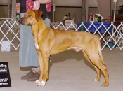 Bode, Winners Dog and Best Opposite Sex at the Mt Baker Kennel Club show in May 2008