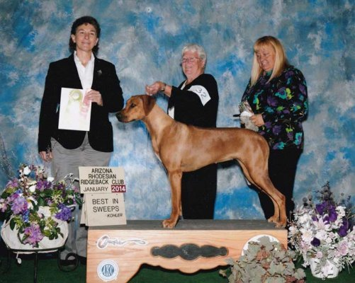 Thanks to Ms Tari Parish for this Special win at the Arizona Rhodesian Club's Regional Specialty - Best Puppy in Sweeps and following Sweeps Annie went on to win Overall Best Bred By and her name will be on their Arizona Rhodesian Ridgeback Challenge Cup and a Reserve to a major.