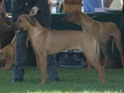 """Jewel's son """"Tucker"""" (BaobabSLR Windancer Tanzanite), sired by DC Thorntree Krugerand Windancr, MC, FCh, HIC. Candid photo from the Orange Coast Ridgeback Regional Specialty show in April, 2007."""