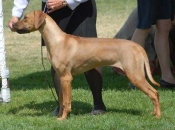 """Jewel's daughter """"Mali"""" (BaobabSLR Zambia Malachite), sired by DC Thorntree Krugerand Windancr, MC, FCh, HIC. Candid photo from the Orange Coast Ridgeback Regional Specialty show in April, 2007."""