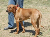 """Jewel's daughter """"Ruby"""" (BaobabSLR Madagascar Ruby), sired by DC Thorntree Krugerand Windancr, MC, FCh, HIC. Candid photo from the Orange Coast Ridgeback Regional Specialty show in April, 2007."""
