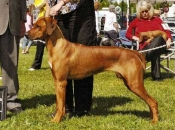 Reserve Winners Bitch at the Bell-Vernon Kennel Club show, July 2009