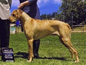 Best of Winners for a Major, Del Monte Kennel Club